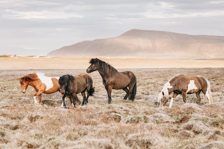 Icelandic Horses In The Open Field