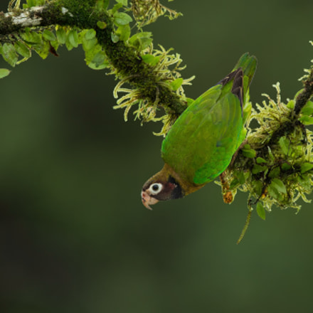 Brown-hooded Parrot, Canon EOS-1D X, Canon EF 400mm f/2.8L IS II USM