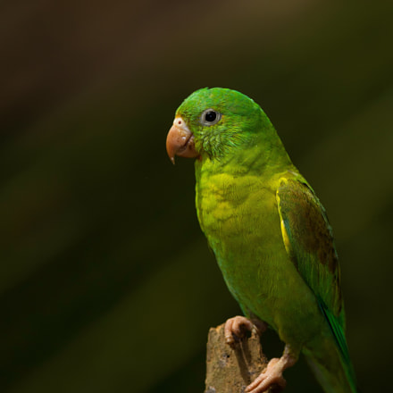 Orange-chinned Parakeet, Canon EOS-1D X, Canon EF 400mm f/2.8L IS II USM + 1.4x