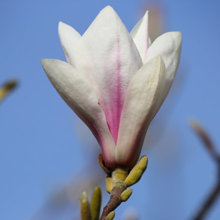 Magnolia, Canon EOS 6D, Canon EF 100-400mm f/4.5-5.6L IS USM