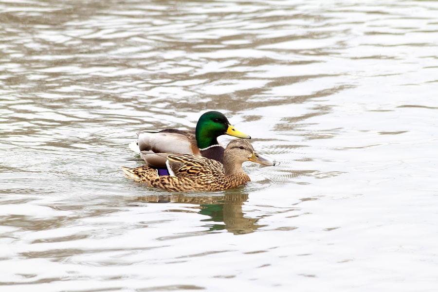 Duck and Drake - 2