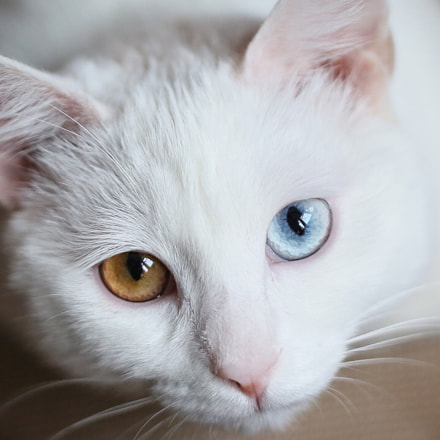 white cat, Canon EOS 5D MARK III, Tamron SP 60mm f/2 Macro Di II