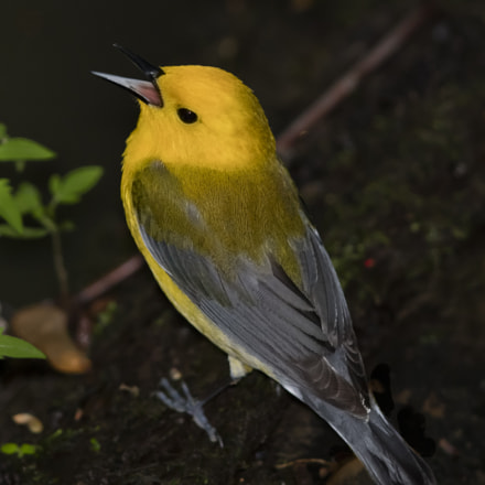 Prothonotary Warbler Paruline orange, Canon EOS 5DS R, Canon EF 600mm f/4.0L IS II USM