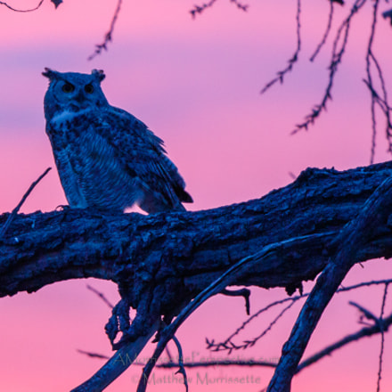 Great Horned Owl at, Canon EOS 7D MARK II, Canon EF 500mm f/4L IS II USM
