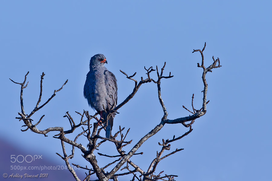 A Dark Chanting Goshawk in the early hours of the morning, no doubt contemplating what would look good on the breakfast menu!