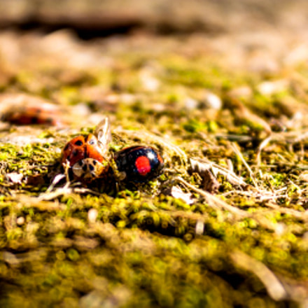 Ladybird Fight, Canon EOS DIGITAL REBEL XSI, Canon EF-S 18-55mm f/3.5-5.6 IS