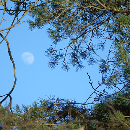 Tree detail with Moon, Sony DSC-H400