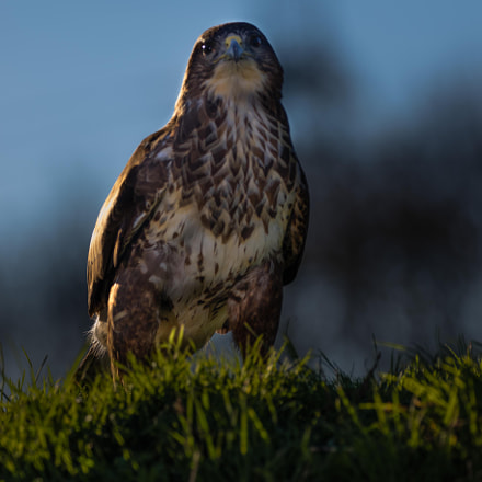 Evening Buzzard