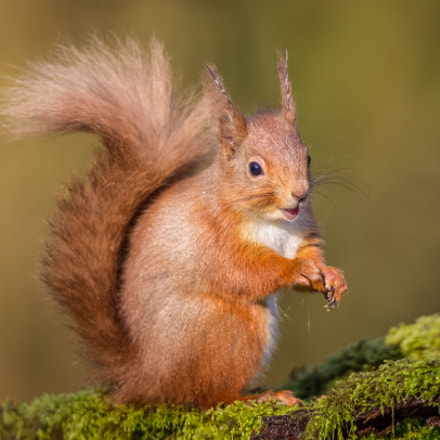 Red Squirrel, Canon EOS-1D MARK IV, Canon EF 500mm f/4L IS