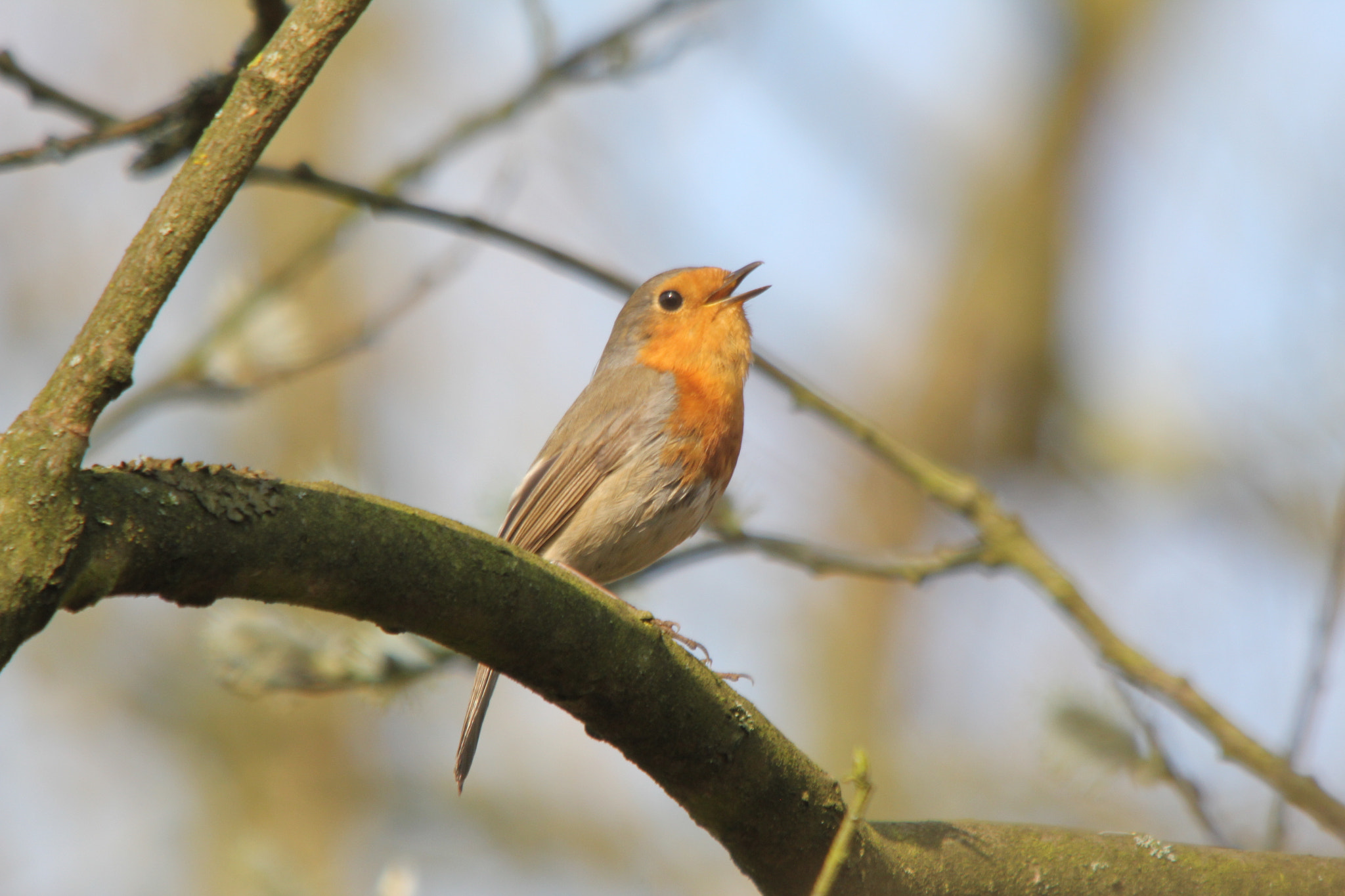 Photograph European Robin by Christof  Nuyts on 500px
