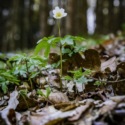 Here i am. Anemone, Canon EOS 760D, Sigma 18-35mm f/1.8 DC HSM