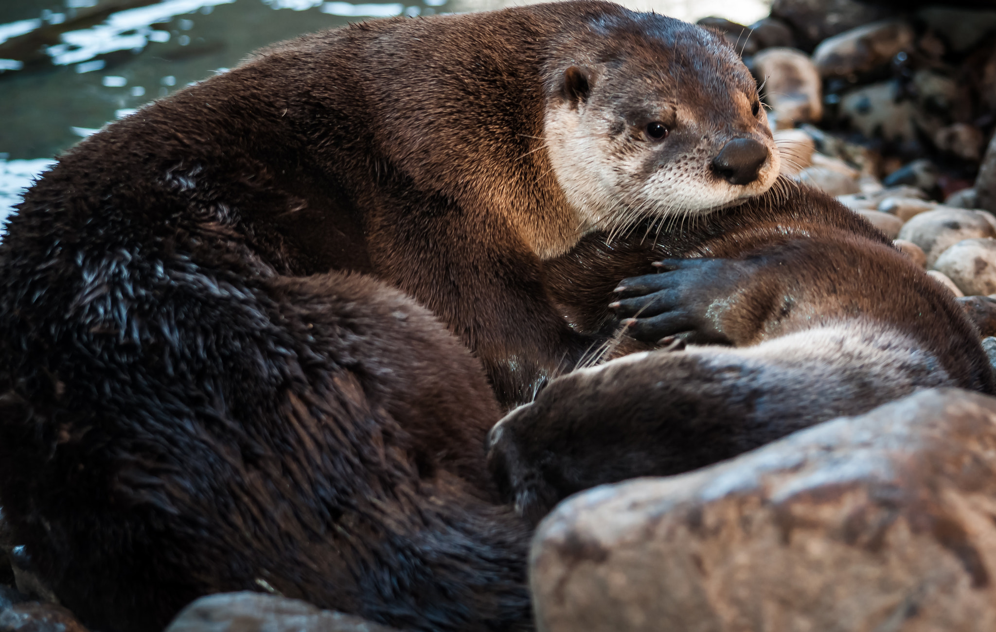 Photograph River Otters by Nick Tsouroullis on 500px