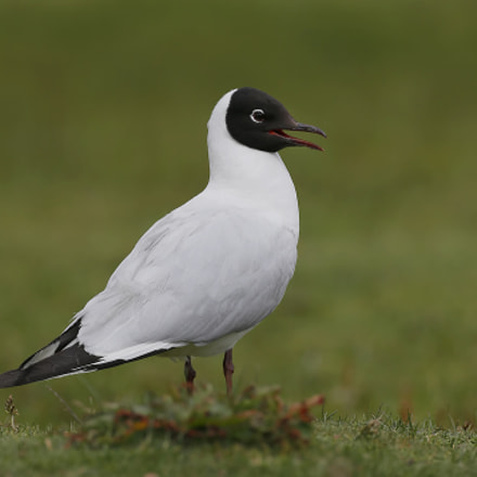 Andean Gull, Canon EOS-1D X, Canon EF 500mm f/4L IS