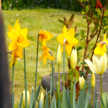 Daffodils in churchyard and, Nikon COOLPIX S3400