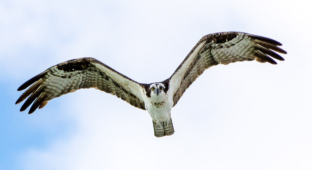 Photograph Osprey  by manny herreria on 500px