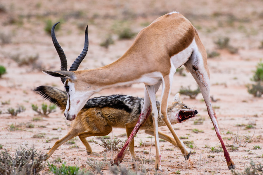 This jackal is about to bring down the injured Springbock. Incredible scene from KTP, quite hard to watch when you´re sitting next to that poor thing...
