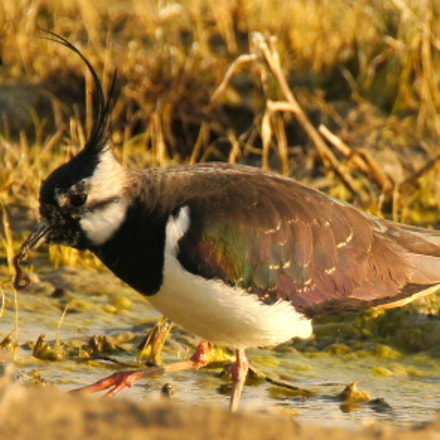 Lapwing III, Sony SLT-A55V, Tamron SP 150-600mm F5-6.3 Di USD