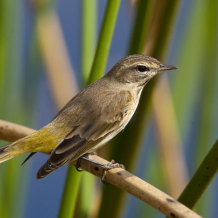 Palm Warbler, Canon EOS-1D MARK III, Canon EF 500mm f/4L IS