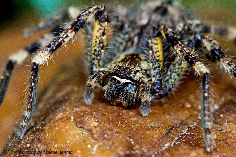 Photograph Spider Macro by Nolene Jensen on 500px