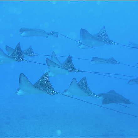Eagle Rays at the, Canon POWERSHOT SD630