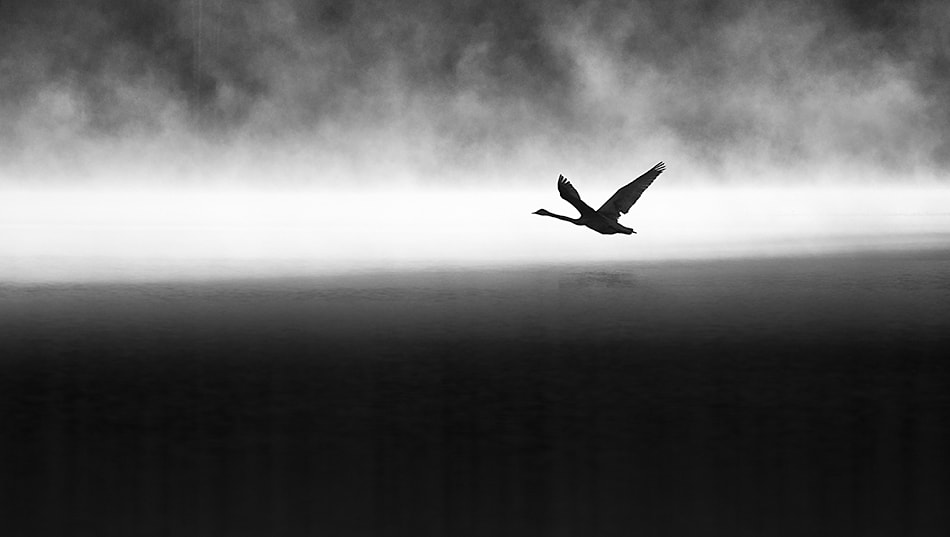 Photograph Black swan by Mikko Lagerstedt on 500px