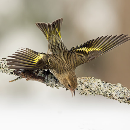 Pine Siskin, Canon EOS-1D X, Canon EF 500mm f/4L IS
