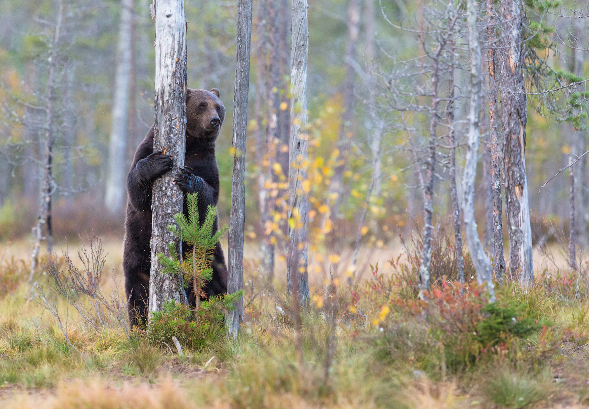 Photograph Wild Brown Bear by Lauri Tammik on 500px