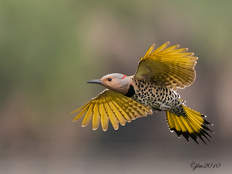 This was taken when a pair of flickers were nest building but unfortunately were forced to leave due to the invasion of the European starlings.