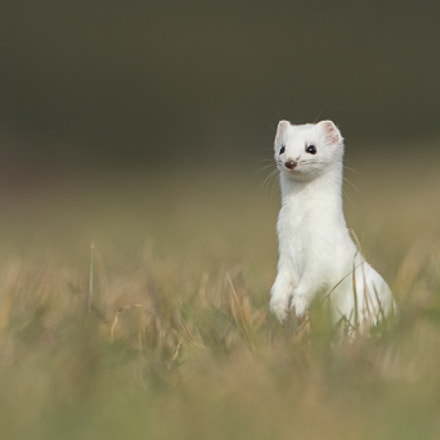 Hermine - Stoat, Canon EOS 7D MARK II, Canon EF 500mm f/4L IS