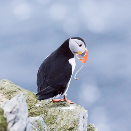 Puffin at Hornøya, Canon EOS 5D MARK III, 150-600mm F5-6.3 DG OS HSM | Sports 014