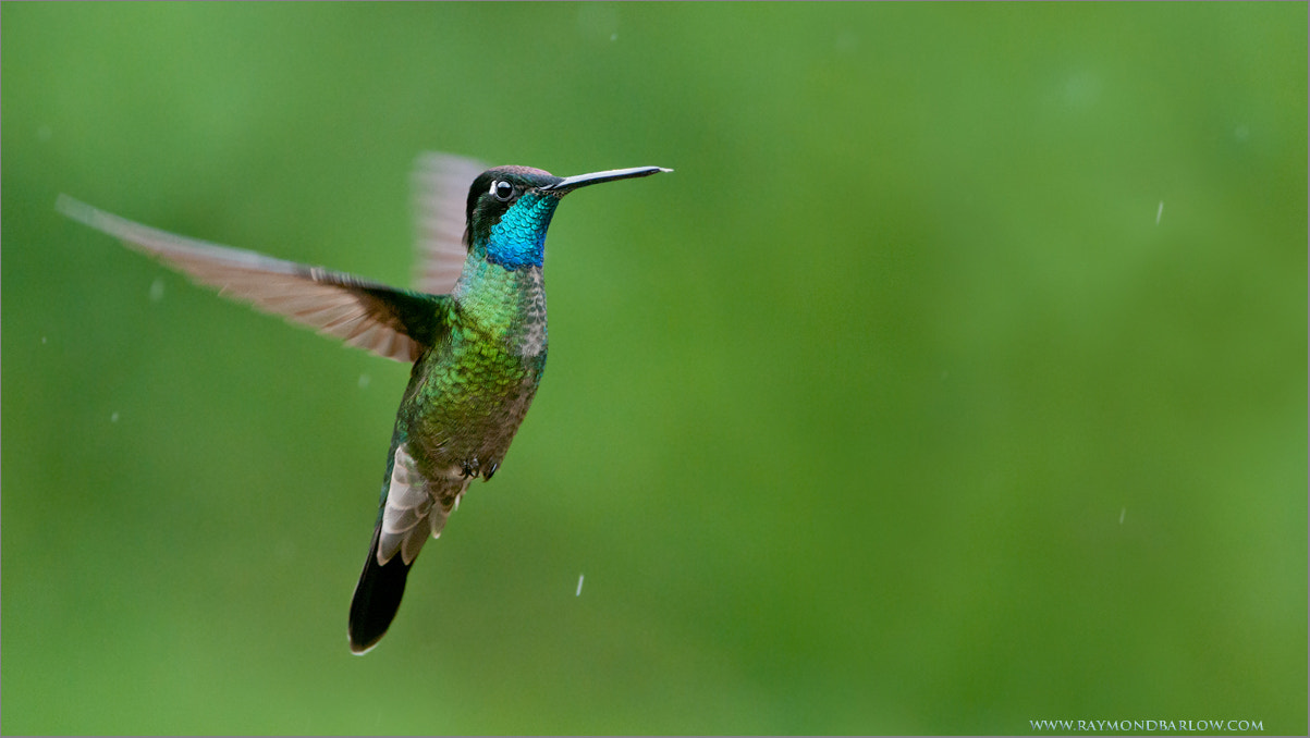 Photograph Magnificent Hummingbird in Flight by Raymond Barlow on 500px