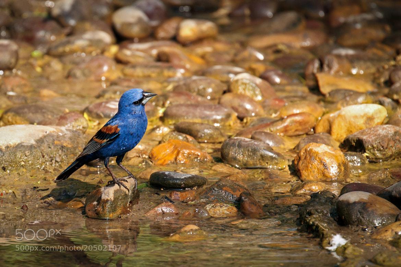 Photograph Blue Grosbeak by Kenny Salazar on 500px