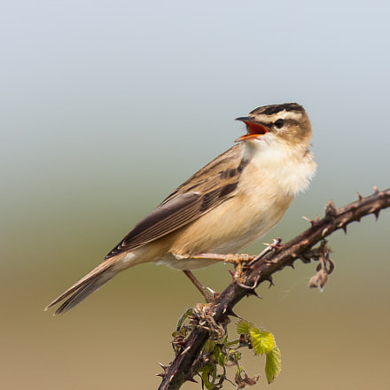 Sedge Warbler, Canon EOS 40D, Canon EF 500mm f/4L IS
