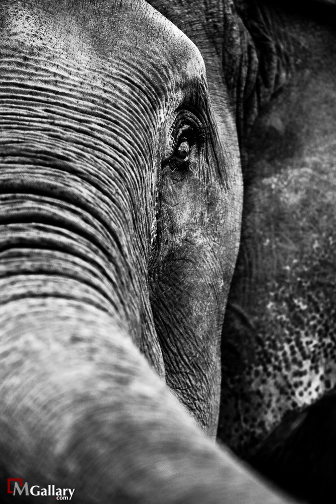 Photograph Grand Elephant by Dr.Mohammed Alkandari on 500px