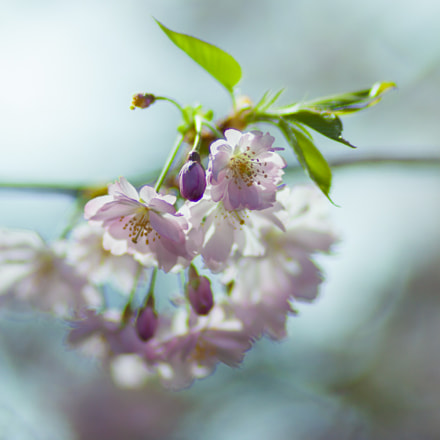 Ispring folwers, Canon EOS 5D MARK II, Canon EF 100mm f/2 USM
