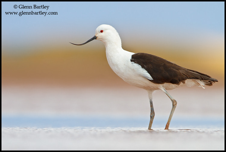Photograph Andean Avocet (Recurvirostra andina) by Glenn Bartley on 500px