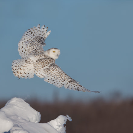 Owl season ends !!, Canon EOS-1D X, Canon EF 500mm f/4L IS