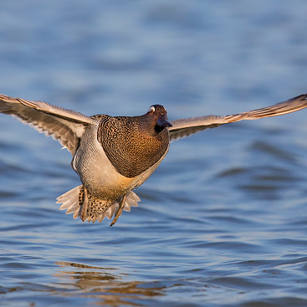 Garganey in Fly, Canon EOS 5D MARK IV, Canon EF 600mm f/4.0L IS II USM