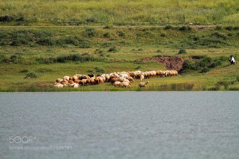 Photograph Sheeps ! by Asghar Mohammadi Nasrabadi on 500px
