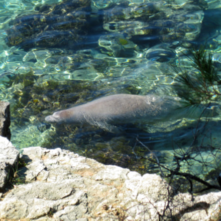 Monk seal in Zen, Canon POWERSHOT A3100 IS
