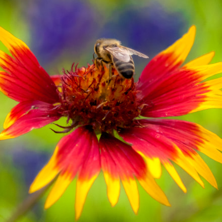 Springtime. Bee at work., Canon EOS 5D MARK II, Canon EF 24-105mm f/4L IS