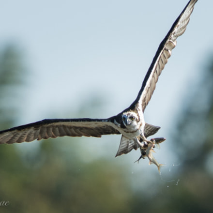 Big eating Osprey, Nikon D5, AF-S VR Nikkor 600mm f/4G ED