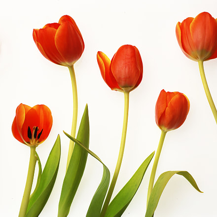 Six Tulips, Canon EOS 6D, Tamron 90mm f/2.8