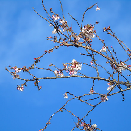 Blossom with bright blue, Sony DSC-H400