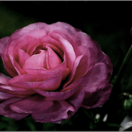 Pink Flower..., Canon EOS REBEL T3I, Canon EF 28-80mm f/3.5-5.6
