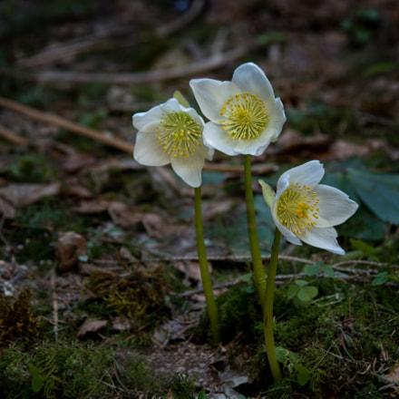 Schneerose (Christmas rose)