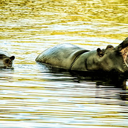 hippo, Canon EOS 70D, Canon EF-S 55-250mm f/4-5.6 IS