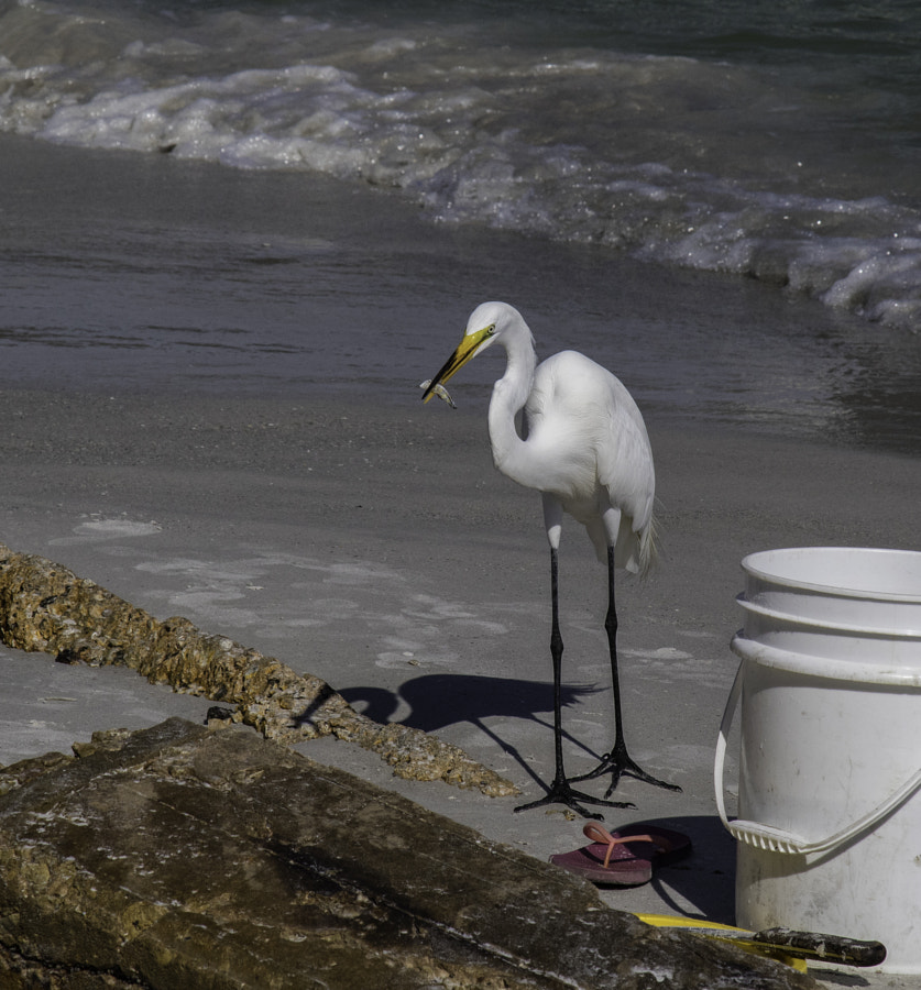 snowy egret, great egret