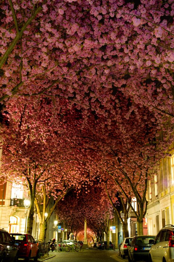 A carpet of cherry blossom by Adas Meliauskas on 500px.com