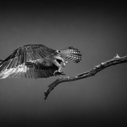 Shying Osprey, Canon EOS-1D X, Canon EF 600mm f/4L IS